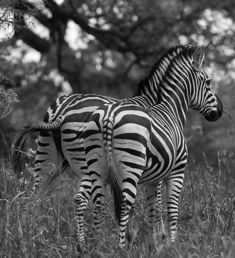 Kliknij obrazek, aby uzyskać większą wersję  Nazwa:zebra.jpg Wyświetleń:19 Rozmiar:848,0 KB ID:1094
